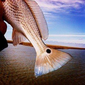 Deep Sea Offshore and Inshore Redfish Fishing Charters in Venice Louisiana
